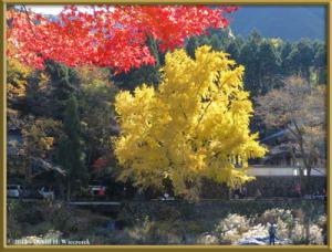 Nov18_215_MitakeSawai_FallColor_GinkgoRC