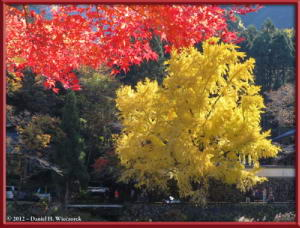 Nov18_216_MitakeSawai_FallColor_GinkgoRC