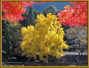 Nov18_217_MitakeSawai_FallColor_GinkgoRC