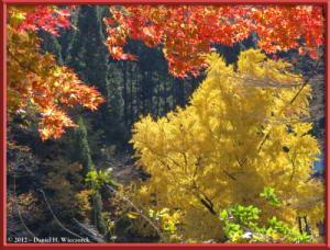 Nov18_240_MitakeSawai_FallColor_GinkgoRC