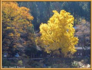 Nov18_250_MitakeSawai_FallColor_GinkgoRC