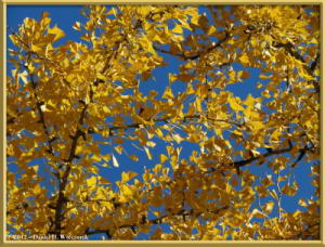 Nov18_278_MitakeSawai_FallColor_GinkgoRC