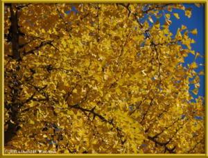 Nov18_279_MitakeSawai_FallColor_GinkgoRC