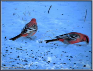 Nov_13_5Exp_SIP_PineGrosbeakRC