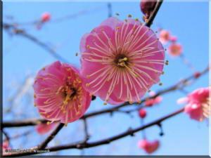 BubaigawaraPlum2004_03_RC.jpg