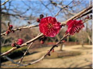 BubaigawaraPlum2004_14_RC.jpg