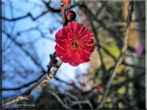 BubaigawaraPlum2004_22_RC.jpg