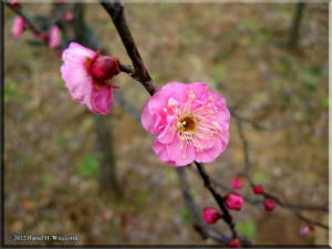 JindaijiPlum03a_RC.jpg