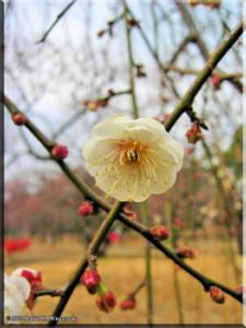 BubaigawaraPlumJan29_2005_05.jpg