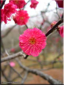 BubaigawaraPlumJan29_2005_11.jpg