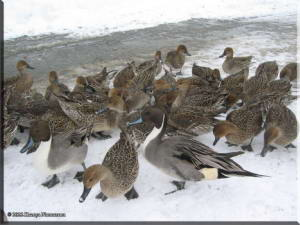 LakeTokuraDucks01RC.jpg