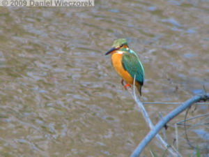 Jan17_NogawaRiv_Kingfisher10RC.jpg