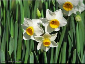 Jan25_NogawaPk11_DaffodilRC.jpg