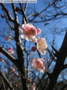 Jan25th_JindaiBG10_PlumBlossomRC.jpg