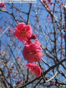 Jan25th_JindaiBG29_PlumBlossomRC.jpg