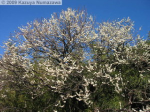 Jan25th_JindaiBG38_PlumBlossomRC.jpg