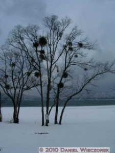 Dec31_TazawakoLakeArea31_MistletoeRC