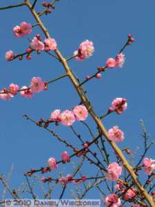 Jan30_JindaiBotGar042_Plum_BlossomRC