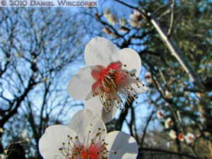 Jan30_JindaiBotGar052TM_SIP_Plum_BlossomRC