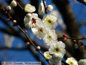 Jan30_JindaiBotGar062_Plum_BlossomRC