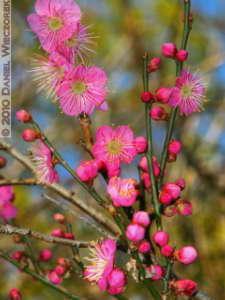 Jan30_JindaiBotGar068TM_Plum_BlossomRC