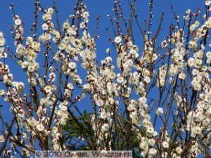 Jan30_JindaiBotGar076_Plum_BlossomRC