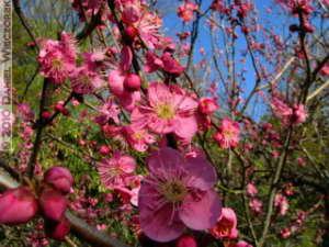 Jan30_JindaiBotGar079_Plum_BlossomRC