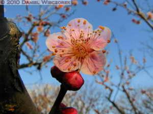 Jan30_JindaiBotGar110SIP_Plum_BlossomRC