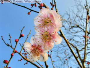 Jan30_JindaiBotGar115TM_SIP_Plum_BlossomRC