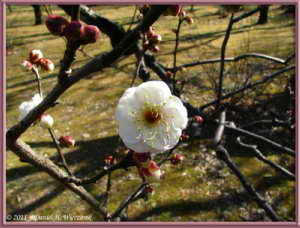 Jan09_22FR_JindaiBG_FirstPlumBlossomsRC