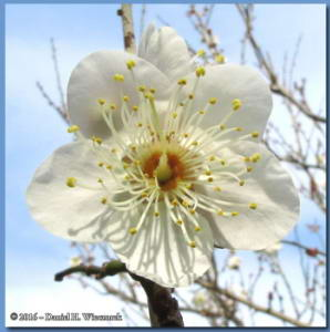 Jan02_10Part_JindaiBotGarden_PlumBlossomRC