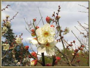 Jan02_14_JindaiBotGarden_PlumBlossomRC