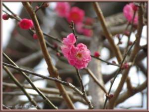 Jan02_19_JindaiBotGarden_PlumBlossomRC