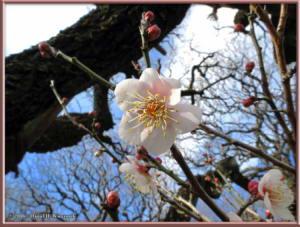 Jan02_21_JindaiBotGarden_PlumBlossomRC