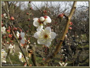 Jan02nd_04_JindaiBotGarden_PlumBlossomsRC