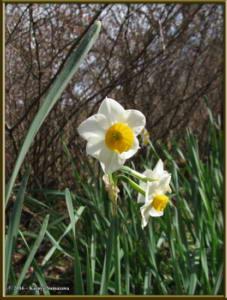Jan02nd_05_JindaiBotGarden_DaffodilRC