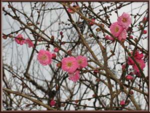 Jan02nd_07_JindaiBotGarden_PlumBlossomsRC