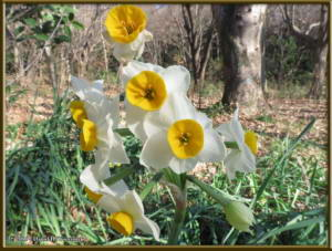Jan16_02_NogawaPk_DaffodilRC