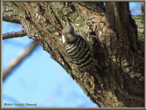 Jan16_04_NogawaPk_WoodpeckerRC