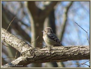 Jan16_06_NogawaPk_WoodpeckerRC