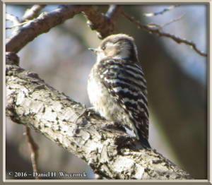 Jan16_07Crop_NogawaPk_WoodpeckerRC