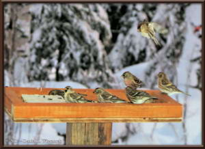 Jan6_5_CommonRedpolls_3Layers_SIP_EXP_AT_AutoBlend1RC