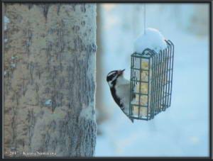 Jan9_8_WoodpeckerRC