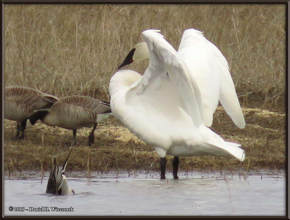 Trumpeter Swan - Cygnus buccinator