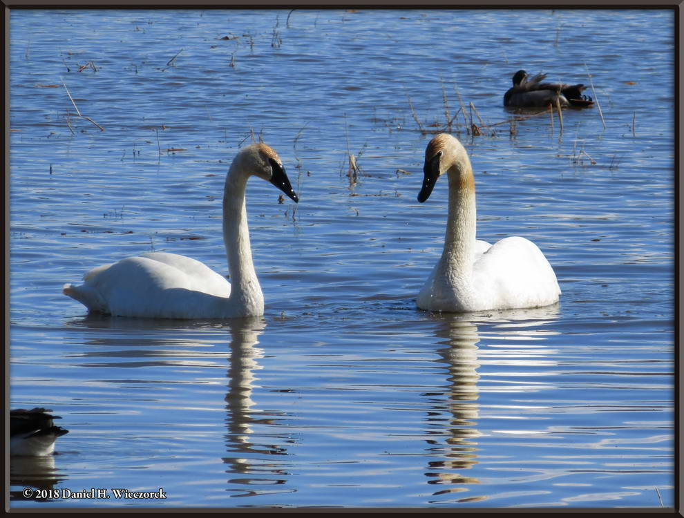 Trumpeter Swans - At Creamer's Field