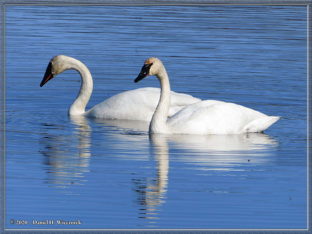 Trumpeter Swans Cruising Around