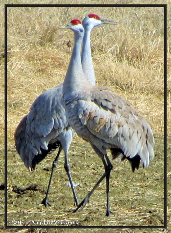 Sandhill Cranes (Grus canadensis) - Creamer's Field, Fairbanks