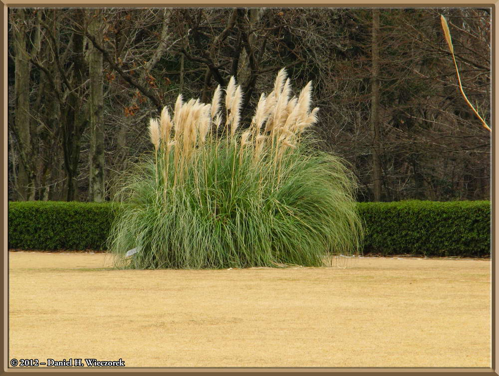 Winter Pampas Grass - (Cortaderia selloana) at Jindai Botanical Garden
