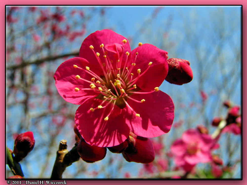 Plum Blossom - A Single Beautiful Red Plum Blossom at Kyodo-No-Mori Park (Bubaigawara)