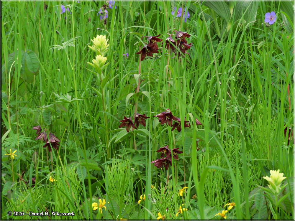 Chocolate Lily - Fritillaria camschatcensis (and other species)